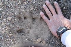 Mountain Lion print inside sanctuary. Everyone wants to live!