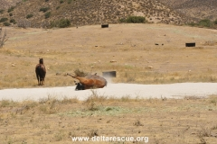 Horse rolling in new sand