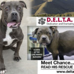 Pitbull rescue with happy ending